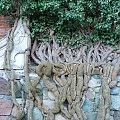 Drzewa #drzewa #mur #zamek #Malbork