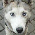 Mój pies 2 #syberian #husky #oczy #niebieskie #pies #mikołów