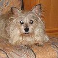 To już wygląda lepiej #pies #piesek #pieseczek #piesio #zwierzęta #kudłaty #pikuś