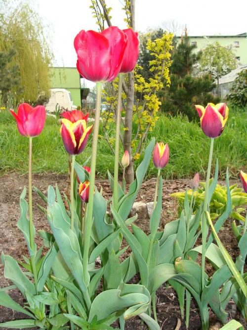 Roślinki prosto z ogródka.Zdjęcie zostało zrobione z lampą błyskową. #KwiatyRoślinyTulipanyOgród