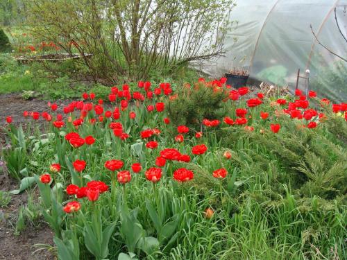 Roślinki prosto z ogródka.Tulipany. #KwiatyRoślinyTulipanyOgród