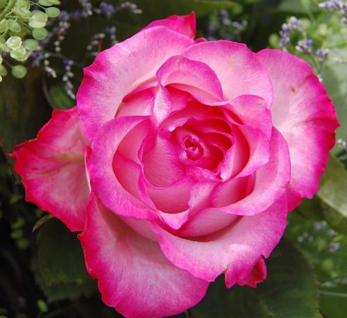 Roza #kwiaty #roza #alicjaszrednicka