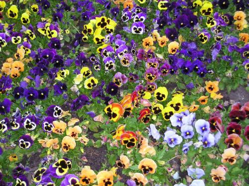 Kolorowo #kwiaty #bławatki #kwiat #kolorowo #piękno #przyroda