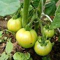 Zielone Pomidory #dojzalosc #zielone #natura #macro #makro #warzywo #pomidor #sad #ogród #lisc #zielen #lato #dojzewanie #krzak #krzaczek