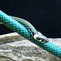 dwa węże #zaskroniec #gad