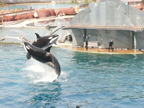 Orki - gatunek walenia z rodziny delfinowatych #Marineland