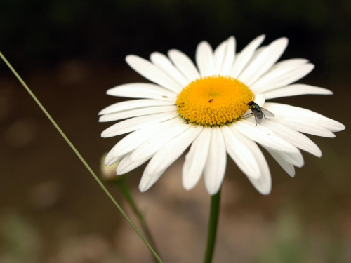 #łąka #kwiaty #stokrotka