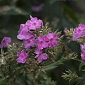 #kwiatki #fioletowe #zielone #bokech