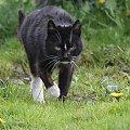 #kot #zwierzę #drapieżnik