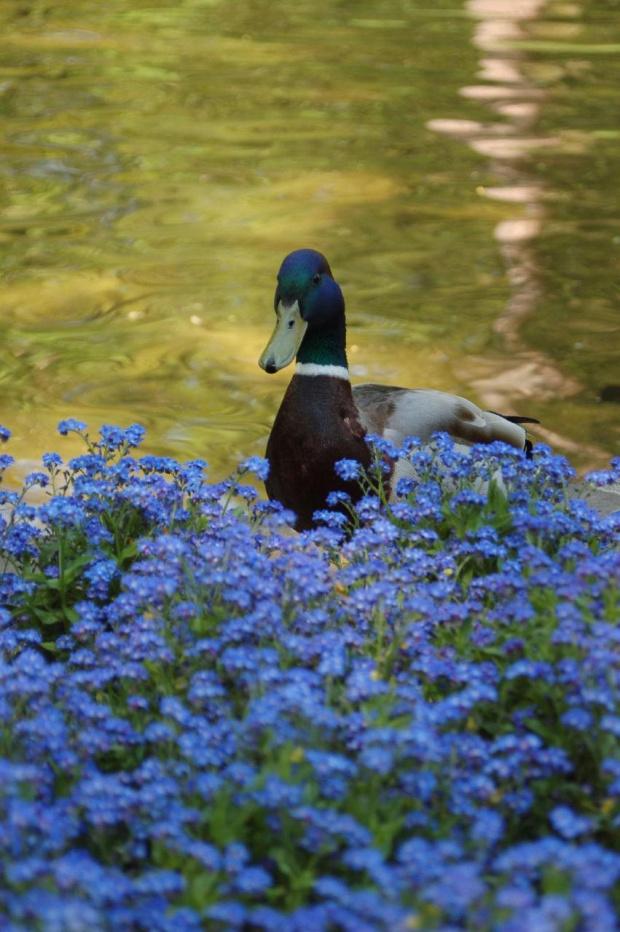 Relacja z niedzielnego spacerku po Łazienkach Królewskich w Warszawie #Kaczor #Niezapominajki #kwiaty #ptak