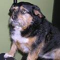 #puszek #pies #piesek #psy #jamnik #zwierzęta #dog