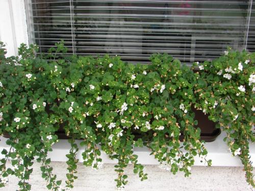 Zobacz Wątek Sadzenie Kwiatów Balkonowych W Lipcu