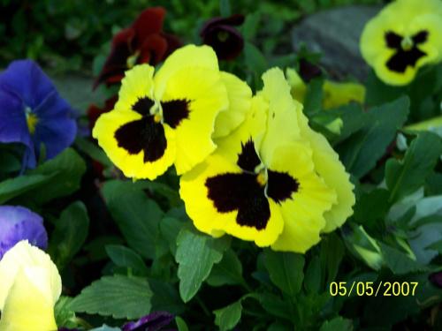 Ah ta żółć #kwiatki #kwiaty #bratki #KwiatkiBratki #BratkiWParkuŁazienkowskim #KwiatkiBratkiWParkuŁazienkowskim #BratkiWŁazienkach #łazienki #ParkŁazienkowski #PiękneZdjęcie #ZdjęcieBratków #ŻółteBratki #KoloroweBratki #kolory #kolor
