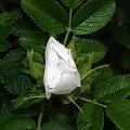 Po deszczu... #róza #biała #makro #kwiat #kwiatek #krople