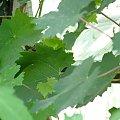 winorośl #pnącza
