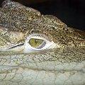 Kto ulegnie urokowi takich oczu? #krokodyl #oko