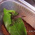 Heterometrus sp. Java L2 #skorpiony #pajęczaki #heterometrus #Java