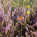 #wrzos #motyl #kwiaty