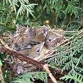 Mlode rudziki #ptaki #ptak #rudzik #młody #juv